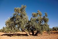 Olive grove, Comarca de Antequera, Malaga province, Andalucia, Spain