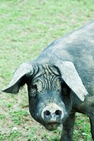 Black pig looking at camera (thumbnail)