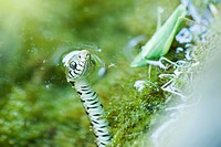 Northern Water Snake Nerodia sipedon hunting grasshopper (thumbnail)