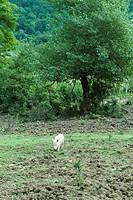 Pig walking in field