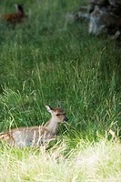 Fawn lying down in grass (thumbnail)