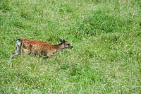 Fawn walking through meadow