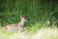 Fawn lying down in grass