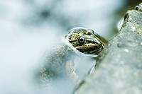 Natterjack toad emerging from water