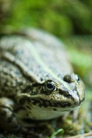 Natterjack toad, close-up