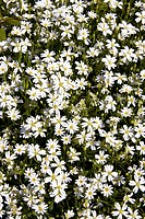 Flowering Greater Stitchwort (Stellaria holostea), Schleswig-Holstein, Germany, Europe
