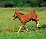Suffolk Punch horse _ foal on meadow
