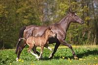 Pura Raza Española _ mare with foal