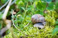 Burgundy Snail, Roman Snail (Helix pomatia) on moss