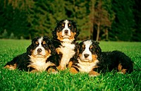 three young Bernese Mountain dogs _ lying on meadow