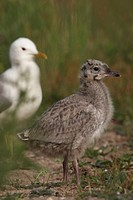 Young Common Gull Larus canus, Bremen, Germany, Europe