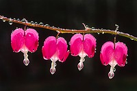Bleeding Heart (Dicentra spectabilis) after rain, North Tirol, Austria, Europe