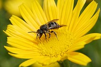 Wild bee on the yellow flower of a Yellow Oxeye Daisy Buphthalmum salicifolium
