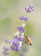 Honey bee (Apis) on Lavender (Lavandula angustifolia)