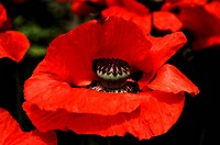 Red flower of the Oriental Poppy (Papaver orientale), Hersbruck, Middle Franconia, Bavaria, Germany, Europe