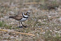 Little Ringed Plover Charadrius dubius, bird