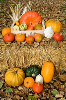 Colourful cucurbitas and corn on the cobs in a wooden box on straw and fallen leaves