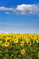 Field of sunflowers (Helianthus annuus)
