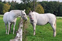 White Kladruber horses from Kladruby nad Labern national stud farm, Pardubice region, Bohemia, Czech Republic, Europe