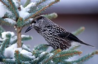 Spotted Nutcracker or Nutcracker Nucifraga caryocatactes, Allgaeu region, Germany, Europe