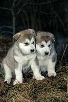 Alaskan Malamute puppies, 30 days old