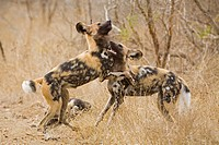 African Wild Dogs Lycaon pictus playing, Kruger National Park, South Africa