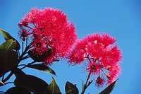 Red Flowering Gum blossoms Eucalyptus ficifolia, West Australia