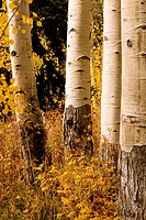 Aspen trees, Aspen, Colorado, USA