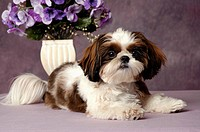 Portrait of a Shih Tzu dog