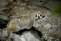 Badger Taxidea taxus on rock