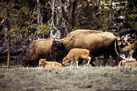 Two adult bison Bison bison and two young bison in forest
