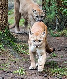 Two pumas Puma concolor in forest