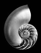 Nautilus sea shell