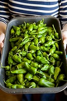 PADRON, PADRON PEPPERS, GREEN PADRON PEPPERS, GREEN PEPPERS