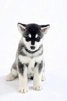 Alaskan Malamute, puppy, 8 weeks
