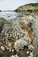 Leaf and Thatched Barnacles on exposed intertidal zone shoreline rocks