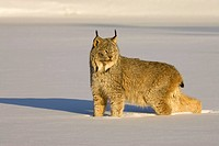 Lynx Lynx lynx in winter