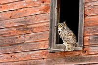 Great Horned Owl Bubo virginianus in barn window