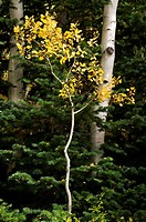 An aspen sapling grows between two adult trees, its leaves adorned with autumn yellow