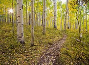 A aspen leaf covered trail winds through golden foliage on the way to Clark Lake and Bowen Mesa in the La Sal mountains near Moab, Utah