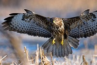Buzzard (Buteo buteo), landing in maize field, hoar_frost, winter, Bavaria