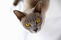 Burmese cat looking to camera