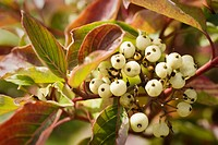 Red-osier Dogwood fruit and foliage detail
