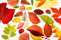 Varied autumn leaves isolated, white background backlight