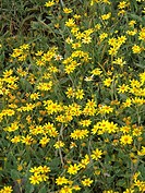 Sonki, Senecio bombayensis, Asteraceae  Kaas plateau, Kaas, Satara, Maharashtra, India