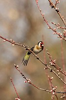 Goldfinch (Carduelis carduelis) in January. Vaucluse, France