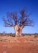 Western Australia, A Boab Tree near Halls Creek