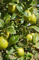 Lemon tree with fruits