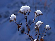 Fresh snow on seedheads