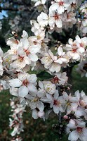 Almond blossom in January